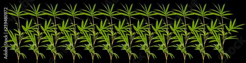 frise de bambous, fond noir