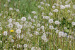 Field of dandelions with white seed heads and green grass, Belarus