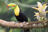 Toucan Ramphastos sulfuratus with open beak  sitting on a branch - 239497349