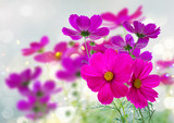 Cosmos pink flowers © neirfy