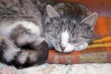 szary kotek śpi