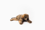 Golden Doodle Puppy on Isolated Background