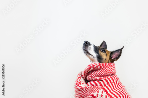 Cute little puppy in white and red winter scarf looking up. Young fox terrier dog in winter clothes at studio background