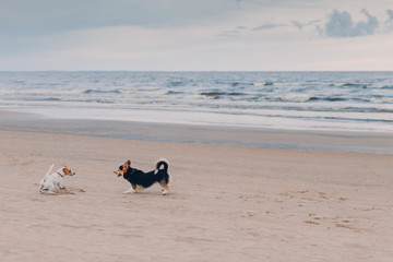 Horizontal shot of two dogs meet on beach, pose against sea and sky background, enjoy walk, run on sand. Animals concept © VK Studio
