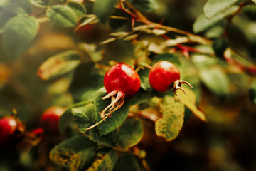 Colourful Red Rose Hips In An English Hedgerow In The Autumn