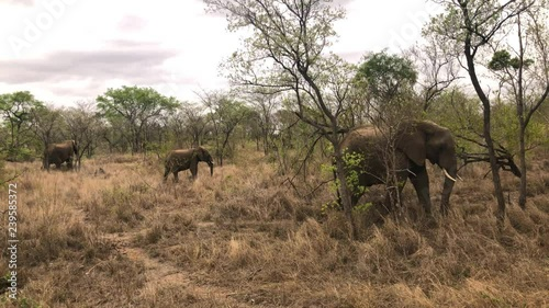 Elephants grazing in the savannah of South Africa