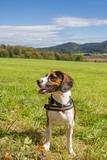 Beagle sitzt auf einer grünen Wiese