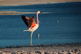 Andean flamingo in a lake in Salar de Atacama
