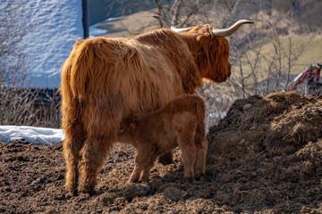 Highlander scotland hairy cow mother and baby newborn calf