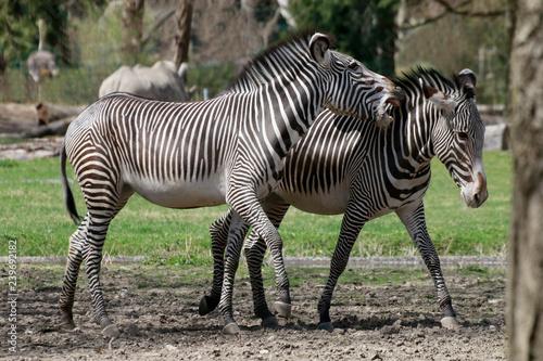 Grevyzebra (Equus grevyi)  - 239692182