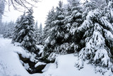 Snow pine tree forest at the Brocken, Harz, Germany