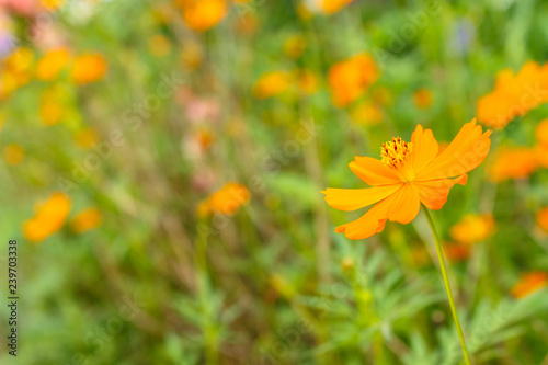 yellow and orange cosmos flower on nature in the garden. - 239703338