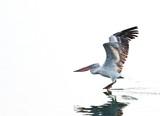 Dalmatian pelican on river Danube