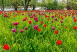 Tulpen Wiese © wolfgang