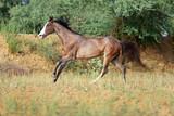 marwari mare galloping free
