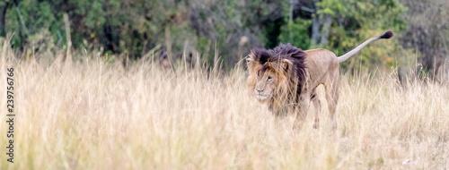 African Lion Walking in Grasslands Web Banner