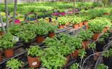 Seedlings of spearmint  growing in pots in sunny greenhouse - 239760784