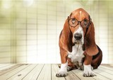 Basset Hound dog in glasses on background