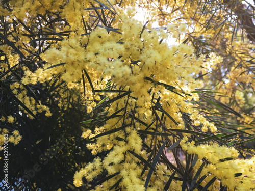 Acacia Flowers Acacia Plant Australian Plants Yellow Small Golden