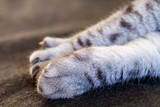 Cat's forepaw with claws close up