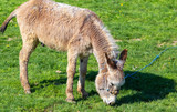 Donkey grazes on green grass in the steppe