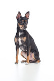 Sitting black toy terrier dog front view looking aside isolated