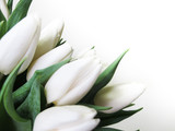 white tulips. Beautiful tulip macro close-up shot bouquet from Holland auction Alsmeer. © roman