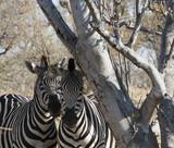 shy zebras under a tree - 239820309