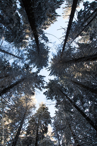 spruce treetops covered with snow in winter forest - 239837715