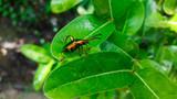 emerald green beetle, weevil