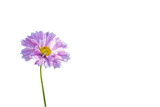 Cosmos flower isolated on white. Clipping path. © krsprs