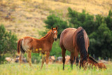 Quarter Horse mare and foal in a spring pasture