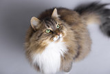 fluffy Siberian cat sitting on a gray studio background and looking up, top view of beautiful pet