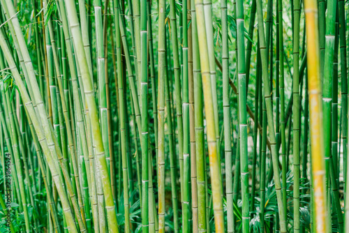Bamboo forest. Green bamboo stems