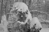 Black and white photo of the snow-covered root of a fallen tree in the forest