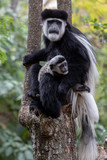 Black and white Colobus Monkey with baby taken in Africa