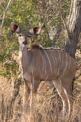 Female young kudu cow in wild African bush on morning safari