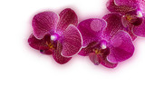 A branch of orchids on a white background