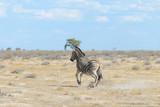 Wild zebra in in africa national park