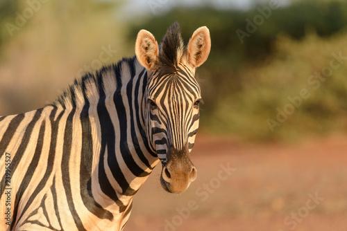 Wild zebra's head close up - 239955527