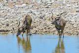 Kudu antelopes in the African savanna