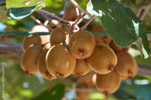 Kiwi fruits detail and plant in a sunny summer day