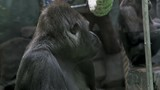 monkey male gorilla stares at the camera with their relatives - 239974936