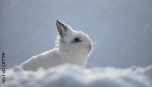 white rabbits in the snow,bunny in winter,white hare - 239977959