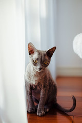 Devon rex cat © Jekaterina Berkovich