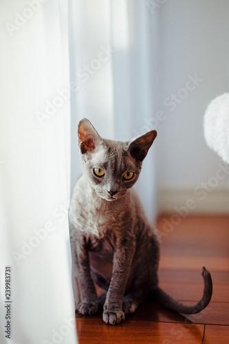 Devon rex cat - 239983731