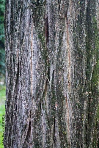 текстура натуральная кора дерева - 239991726