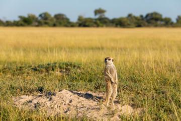 Meerkat standing in front of his hole