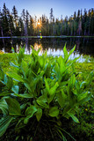 Corn Lily by a Lake at sunrise © Mark
