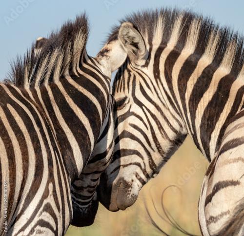 Two plains zebra showing love - 240010718